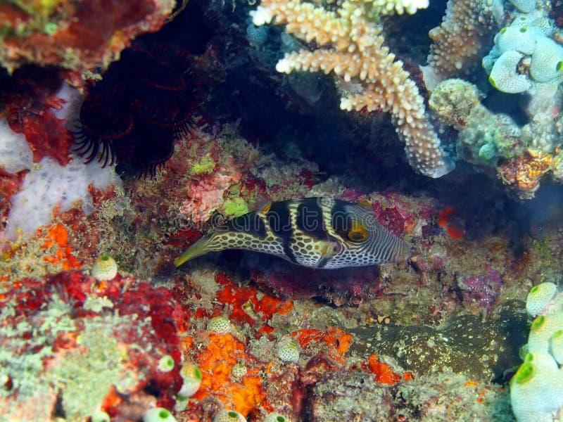 Boxfish royalty-vrije stock foto's