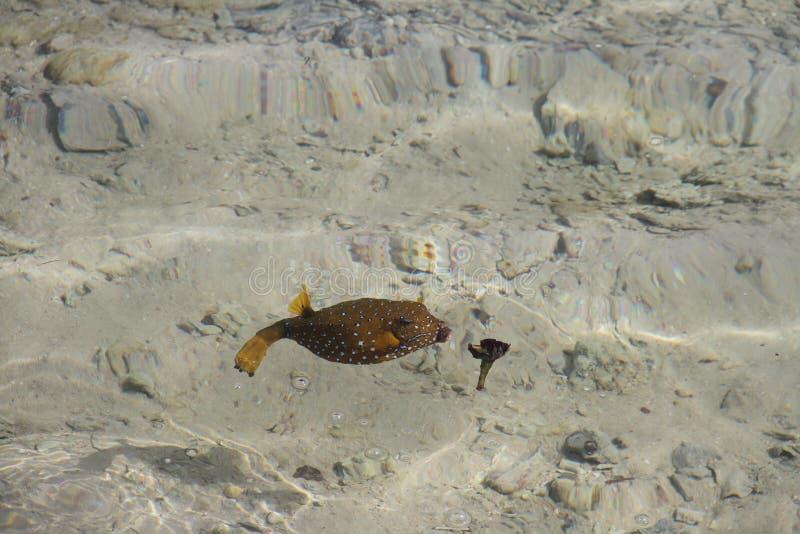 Boxfish amarillo (cubicus del ostracion) fotografía de archivo libre de regalías