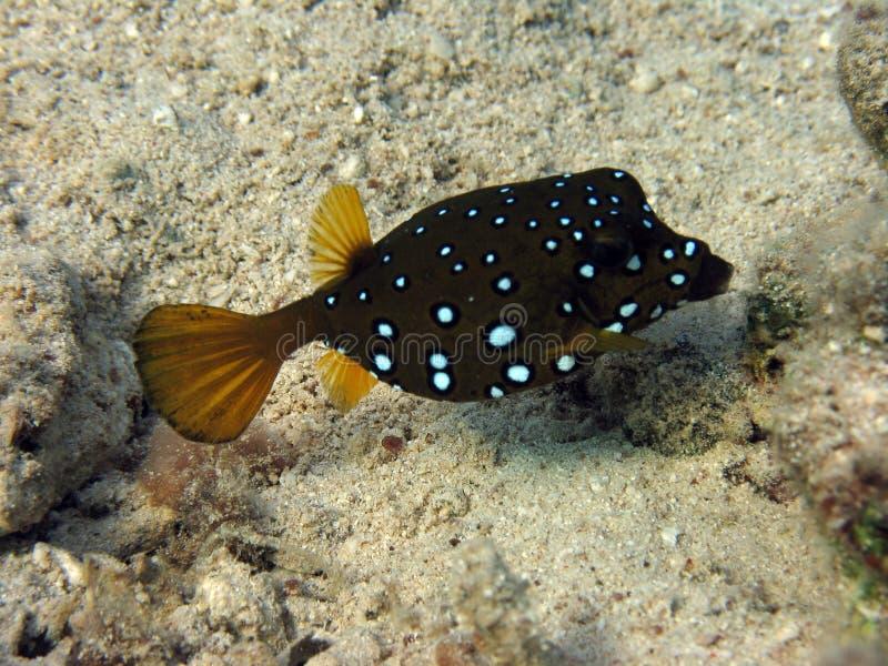 Boxfish del cubo fotos de archivo libres de regalías