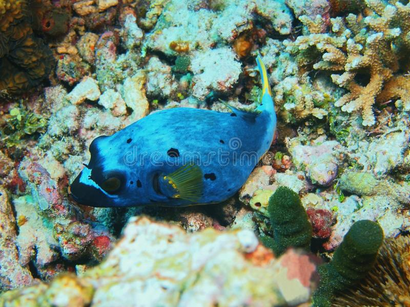Boxfish images stock