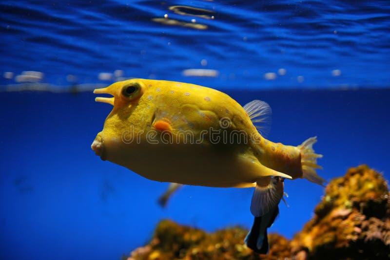 Boxfish, Lorro royalty free stock photo