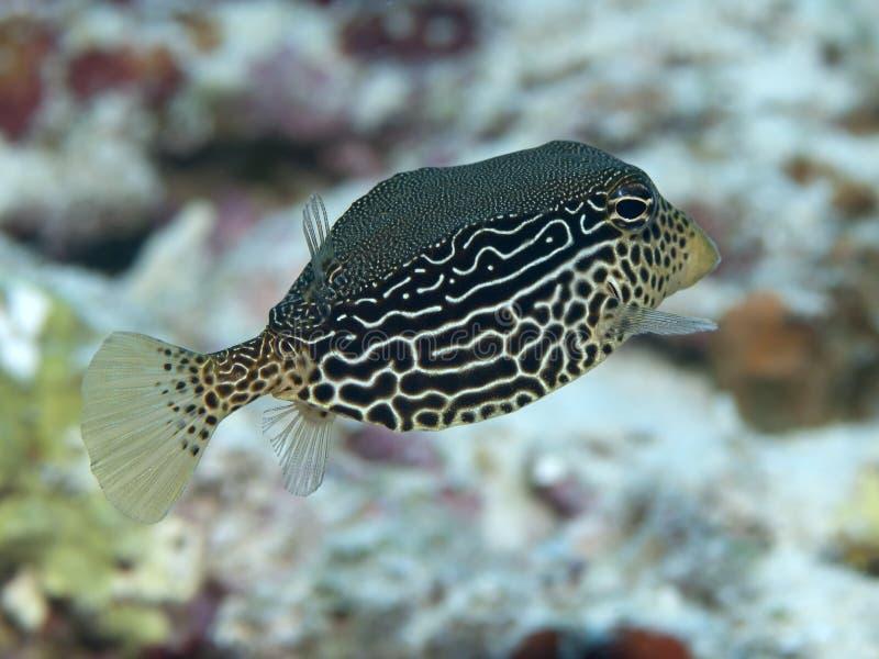 Boxfish reticular fotos de archivo libres de regalías