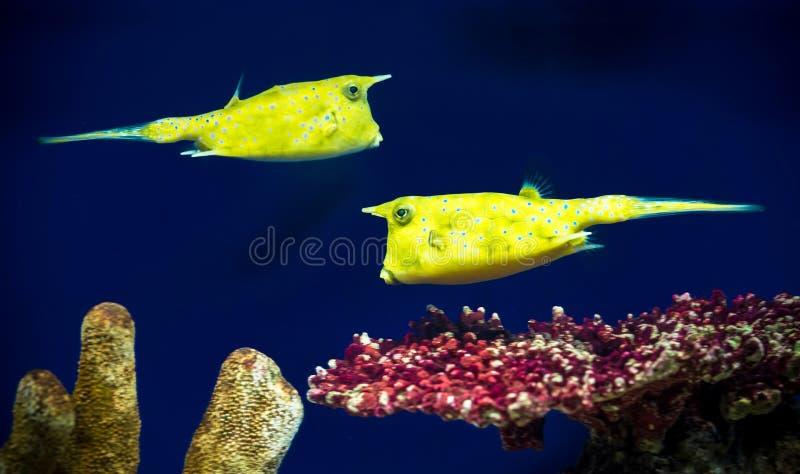 Boxfishes foto de stock royalty free
