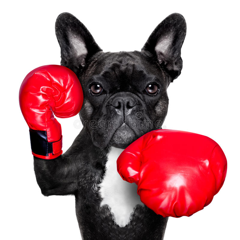 Boxing dog. French bulldog boxing dog with big red gloves