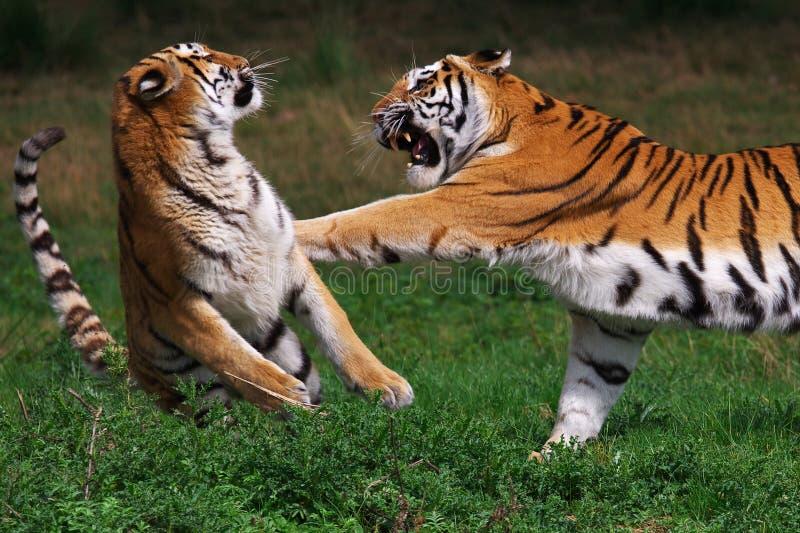 Boxing Siberian tiger stock photo