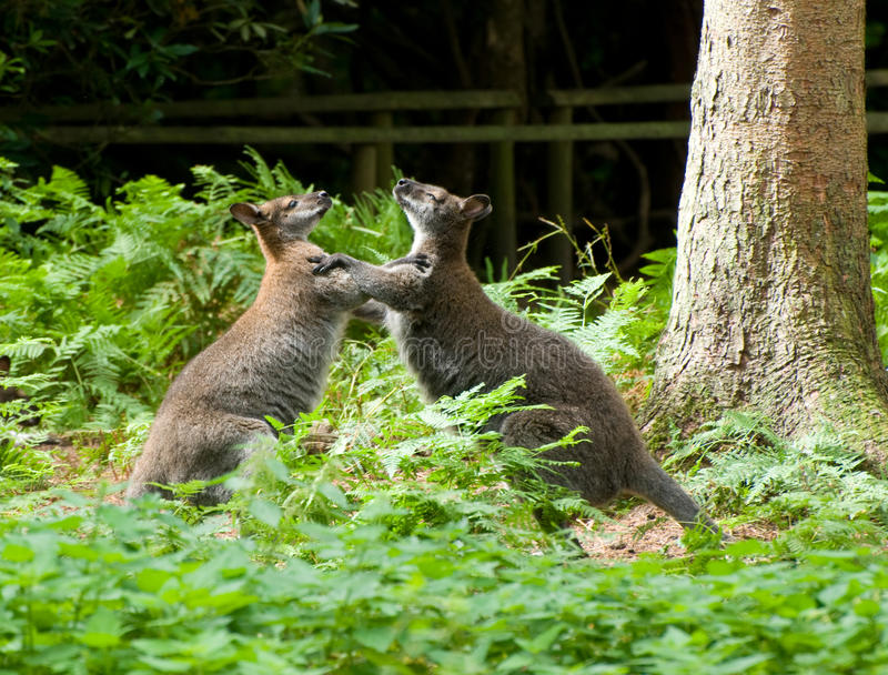 5 Boxing Wallabies Photos Free Royalty Free Stock Photos From Dreamstime