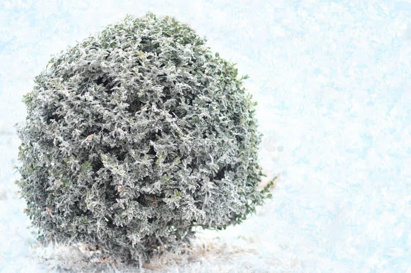 Boxwood зеленого цвета Буша под снегом зима белизны снежинок предпосылки голубая стоковое изображение rf