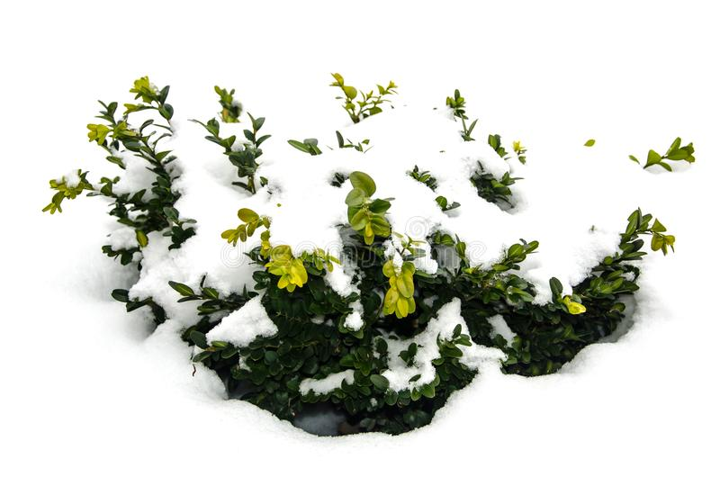 Boxwood зеленого цвета Буша под снегом стоковые фото