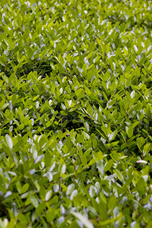 Boxwood stock photography