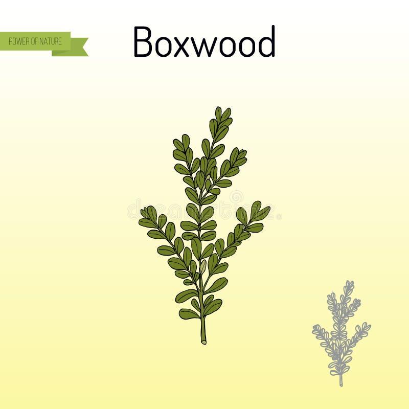 Boxwood Buxus sempervirens lub europejczyka pudełko, lecznicza roślina ilustracja wektor