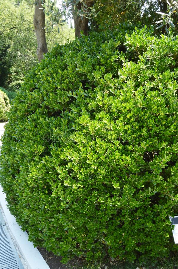 Boxwood evergreen boxwood Bush along the Park alley on a Sunny day, vertical shot.  royalty free stock photography