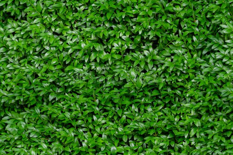 Boxwood seamless background pattern. Natural photo green texture of boxwood Buxus. Sempervirens stock photos