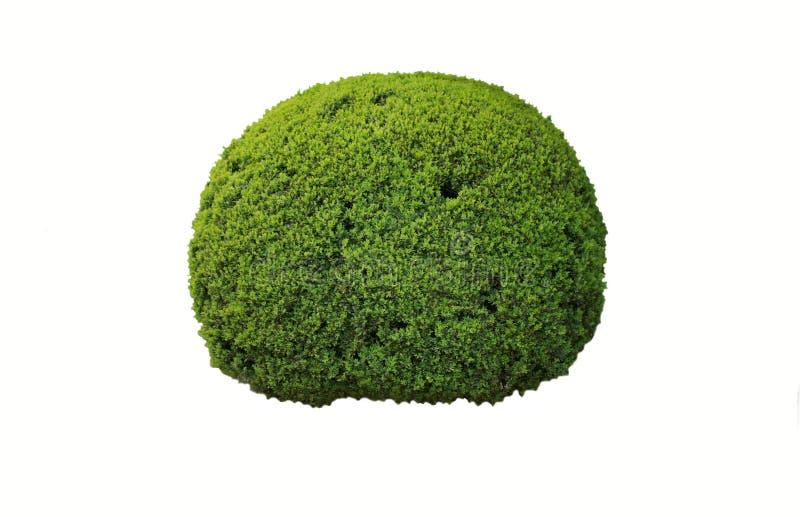 Boxwood shrub. Green boxwood shrub against a white background royalty free stock images