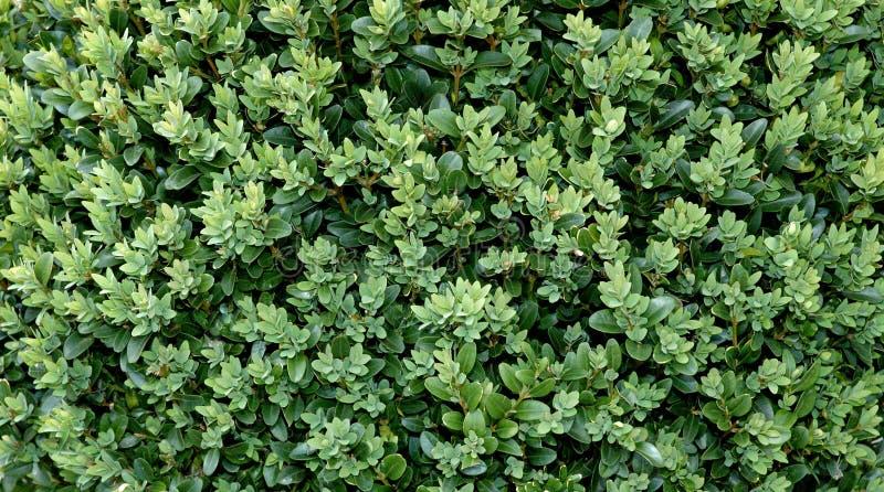 Download Boxwood tła obraz stock. Obraz złożonej z roślina, urlop - 140669