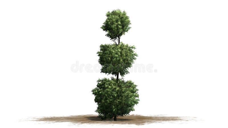 Boxwood Topiary na piaska terenie royalty ilustracja