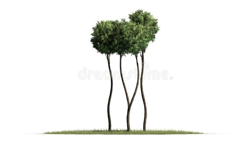 Boxwood Topiary na trawy podłodze ilustracja wektor