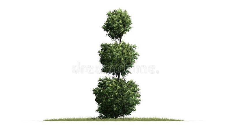 Boxwood Topiary na trawy podłodze royalty ilustracja