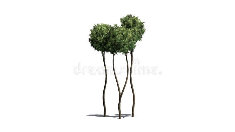 Boxwood Topiary z cieniem na podłodze royalty ilustracja