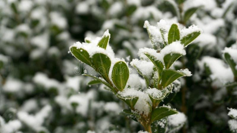 Boxwood - W zimie z śniegiem zdjęcie stock