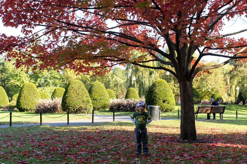 Boy with beautiful tree with red leaves royalty free stock photo