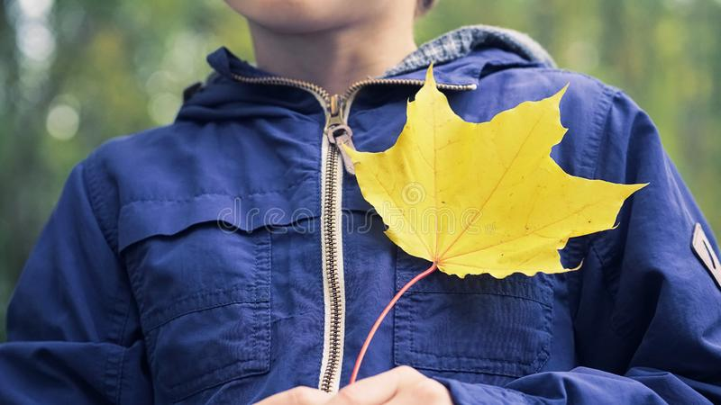 Boy in blue jacket walks in the autumn public park. Bouquet of yellow maple leaves in the hands of little Caucasian boy. Child with a bouquet of leaves. A child royalty free stock photography