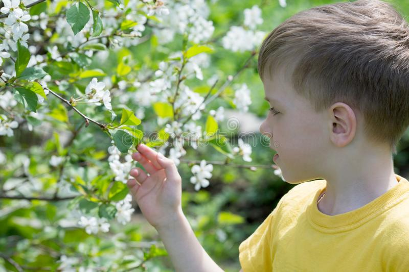 Boy at cherry blossoms on a spring. Day royalty free stock photo