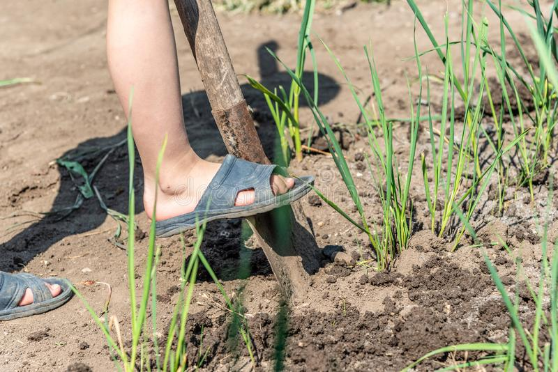 A boy is digging the ground with a shovel for processing agricultural crops in the countryside stock photos