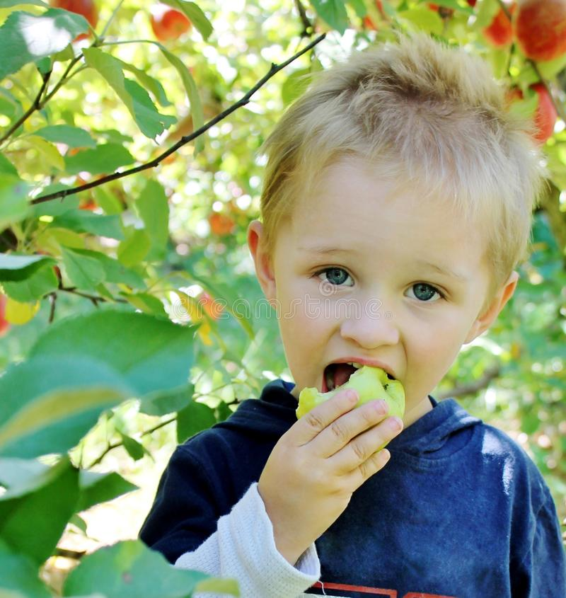 Boy eating an apple. A cute toddler boy eating an apple from the local apple orchard