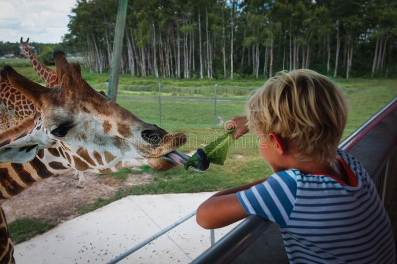 Boy feeding giraffes in zoo or on safari trip. Kids and animals royalty free stock photography