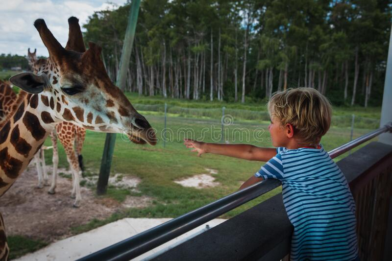 Boy feeding giraffes in zoo or on safari trip. Kids and animals royalty free stock images
