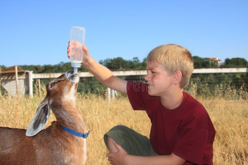Boy feeding Goat royalty free stock images