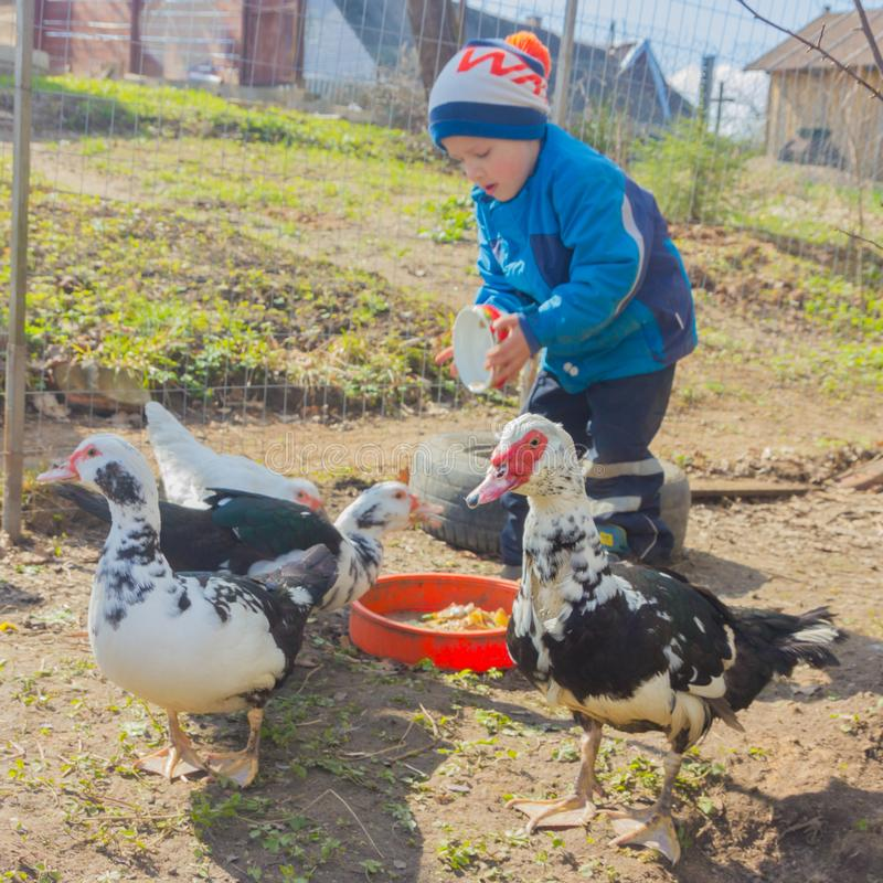 The boy feeds the ducks. Spring, Child on a duck farm. royalty free stock image