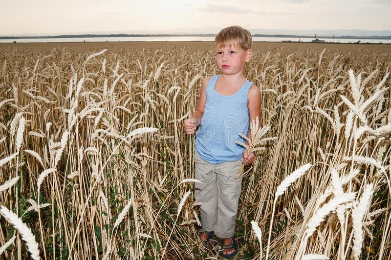 A boy of five years stands in a large wheat field royalty free stock photo