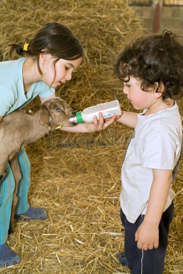 Boy and girl feeding bay goat stock images