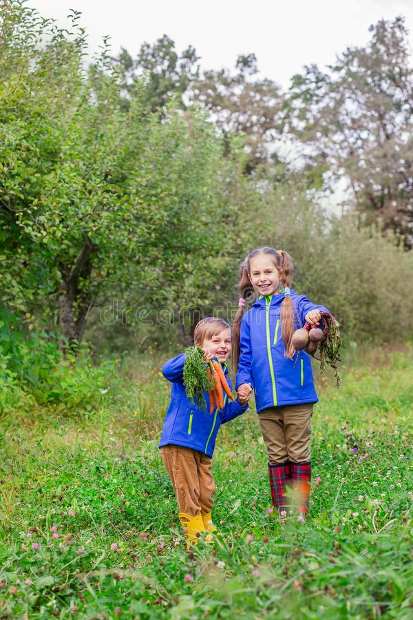 A boy and a girl are holding carrots and beets in their hands, just to gather in the garden stock image