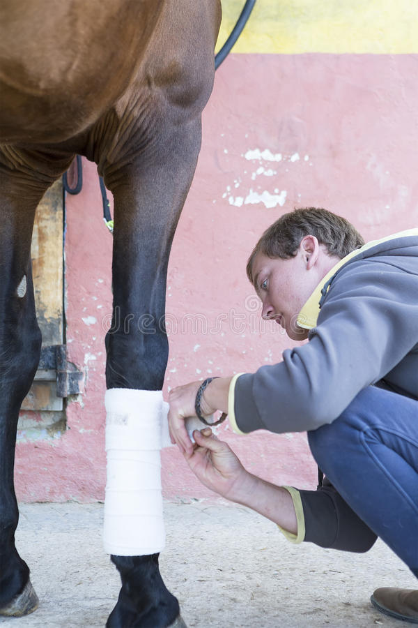 Boy grooming a horse. Young man is putting white bandages on a purebred brown horse's leg at the byre - focus on the face stock photo