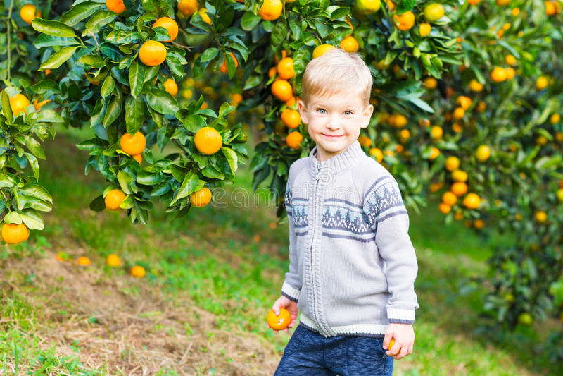 Boy harvest of mandarin orange on fruit farm. On a background of trees stock images