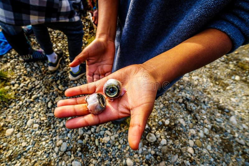 Boy holding the eyes of a dead salmon in the spawning grounds in the Stave River. Downstream of the Ruskin Dam at Hayward Lake near Mission, British Columbia stock images
