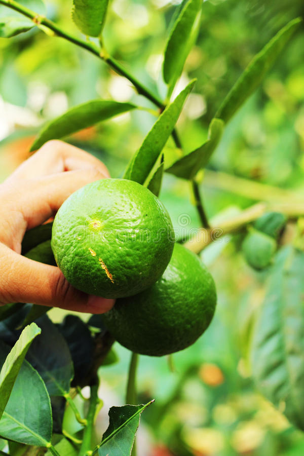 Download Boy Holding A Lemon In The Garden Stock Image - Image: 36353875