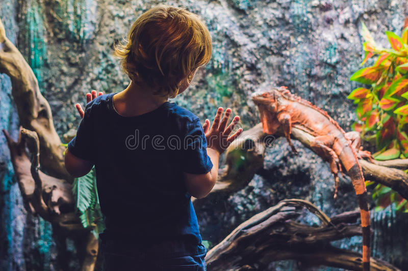 The boy looks at Caiman Lizard Dracaena guianensis , a large green and red reptile native to South America stock image