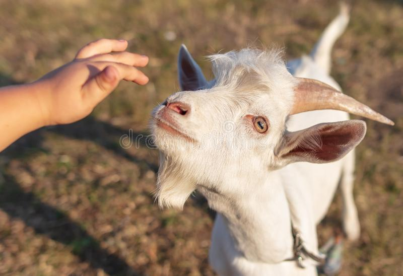 The boy pats the goat on the head stock photo