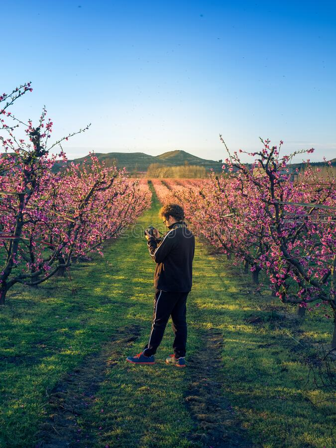Boy photographing the flowering in the peach fields at sunset. Aitone. Lerida. Spain stock images