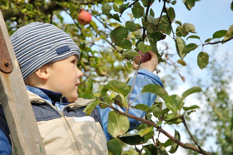 Boy picking apples stock image