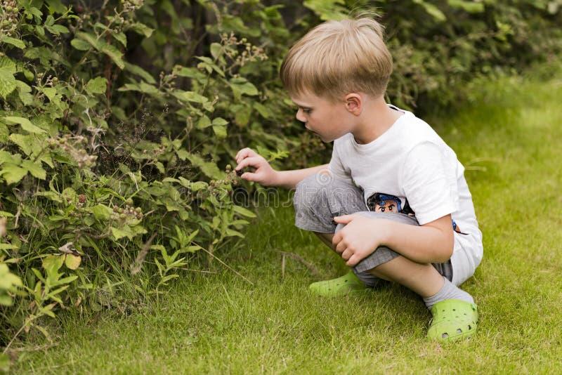 Boy picking raspberries royalty free stock photography
