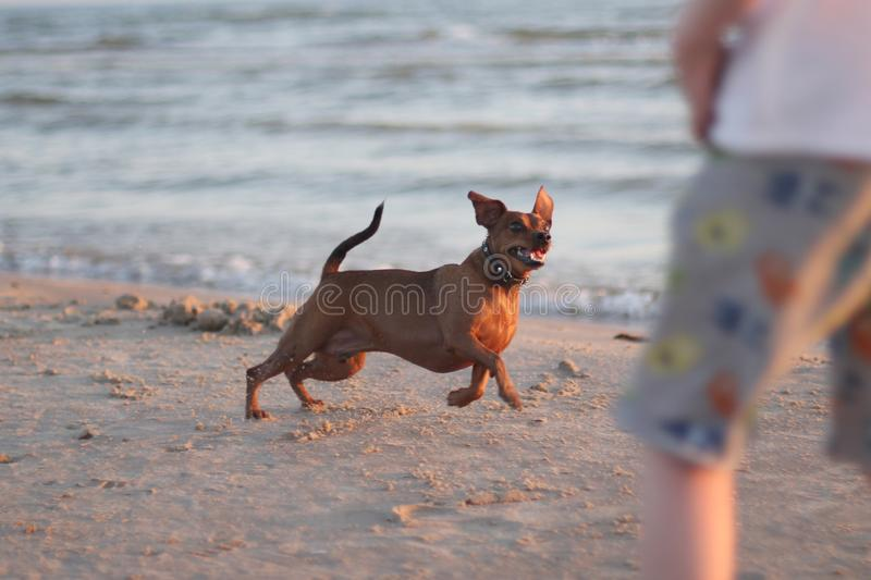 Playing with a dog on the coast stock photography
