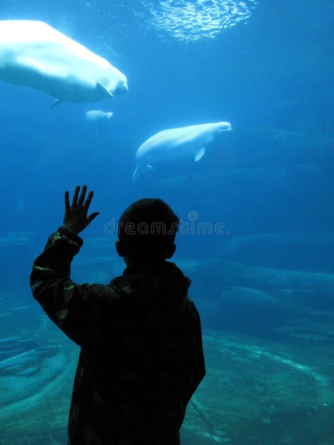 Boy watching beluga whales in an aquarium royalty free stock image