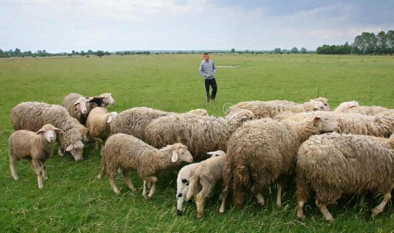 Boy watching over flock of sheep on meadow royalty free stock images