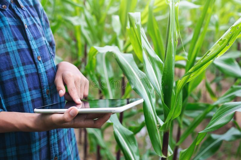Boy young smart farmer Inspecting study Corn plant cultivation royalty free stock photos