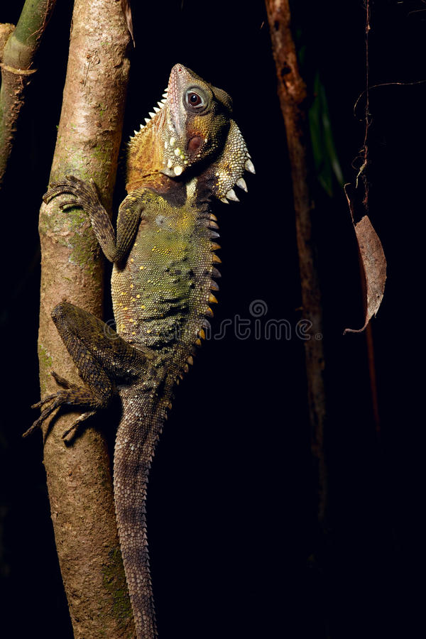 Boyd's Dragon tropical rain forest lizard royalty free stock images