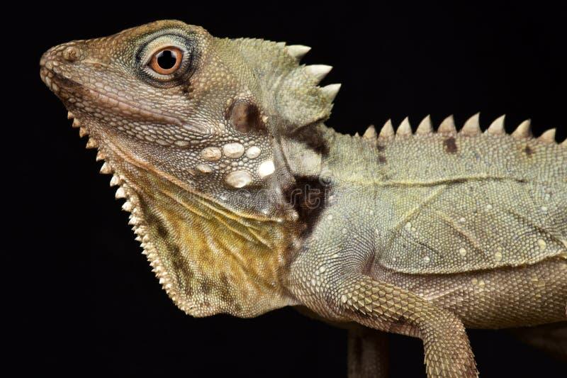 Boyd`s Forest Dragon Lophosaurus boydii. Is a cryptic, ambush predator found in the Cape York region of Queensland, Australia stock images